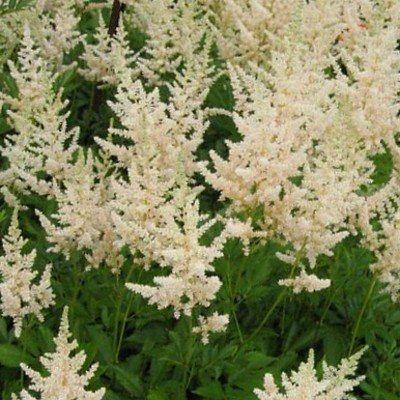Hohe Prachtspiere ( Astilbe arendsii ) Brautschleier WEISS Tb9 von Lichtnelke Pflanzenversand bei Du und dein Garten