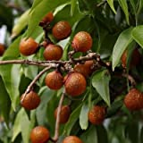 Sapindus saponaria es originaria de Centro y Sudamérica. Los árboles alcanzan una altura de 3-5 metros en su hábitat como un arbusto. Sus frutos amarillos se vuelven translúcidos cuando son maduros. Las cáscaras de las frutas son ricas en saponinas, ...