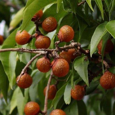 arbol-de-nueces-de-lavar-sapindus-saponaria-5-semillas-spg