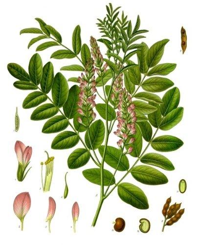 Süßholzpflanze , Lakritze -Glycyrrhiza glabra- - ca 100 Samen