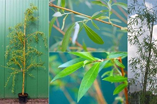 Salix alba Tristis Trauerweide - Hängeweide