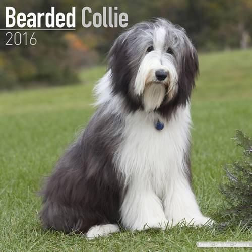 Bearded Collie Calendar 2016 (Square)
