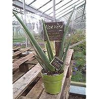 Aloe Vera Plant in Terracotta colour 12 cm Pot