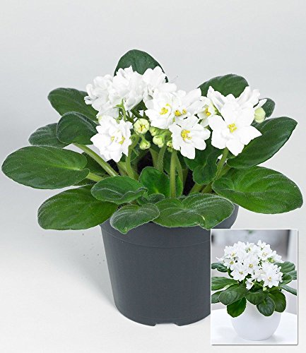 baldur-garten-saintpaulia-usambaraveilchen-weiss1-pflanze