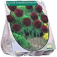 Allium Sphaerocephalon 100 Stück Blumenzwiebel