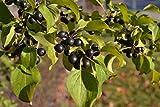 Go Garden Nerprun cathartique, Rhamnus cathartica Seeds