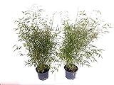 2 Bambuspflanzen, Höhe: 100-110 cm, Fargesia nitida Vulcano, winterharter Gartenbambus + Dünger