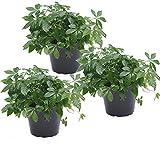 unsere-gaertnerei Pflanze, 3-er Set Kraut der Unsterblichkeit (Jiaogulan) 12 cm Topf, grün, 30x20x20 cm, 49-418x3