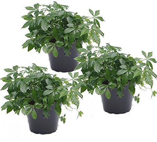 unsere-gaertnerei Pflanze, 3-er Set Kraut der Unsterblichkeit (Jiaogulan) 12 cm Topf, grün, 30x20x20 cm, - Pflanze Tee