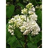 Weißer Flieder Syringa vulgaris alba Pflanze 20cm Strauch tolle weiße Blüten