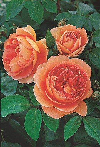'Pat Austin' -R-, Englische Stamm-Rose im Container