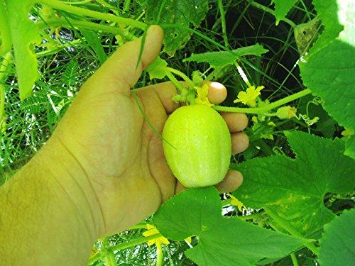 PLAT FIRM Germination Les graines: 50 - Graines: Concombres Citron -WOW !!! si savoureux !! - Belle et facile à cultiver! Bateau gratuit