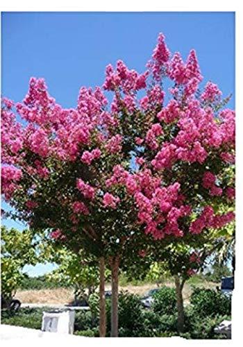 TROPICA - Rose von Indien - Indische Kreppmyrte (Lagerstroemia indica violacea) - 200 Samen