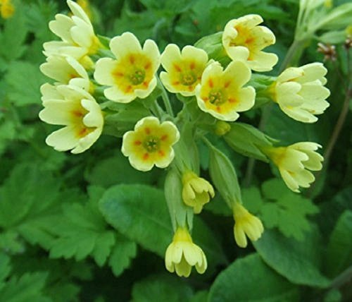 seekay Primel vulgaris Schlüsselblume - ca. 50 Samen - mehrjährige