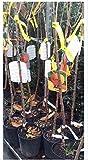 Castagno-Castanea sativa-radice nuda-Resistente a l'inchiostro-150/200 cm in altezza-si fa