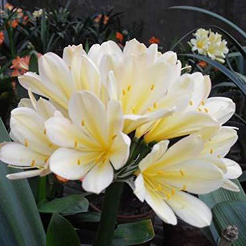 Cioler Seme di Fiore-100pcs Clivia miniata Seeds, fiori ornamentali Semi di bulbi da fiore Semi rari per il giardino