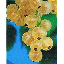 Weiße Johannisbeere - Ribes sativa - Weiße Holländer - sehr ertragreich, robust