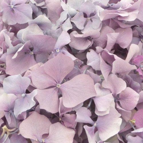 Petali crioessiccati di ortensia Lilac Bloom, colore lilla, 570 g, perfetti come coriandoli