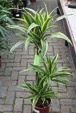 Plante d'intérieur - Plante pour la maison ou le bureau - Dracaena fragrans - Citron/citron vert, hauteur 1,2m