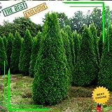 Portal Cool 30 PC chinesischen Thuja Zypresse Bonsai Samen Frische Nature High Keimung