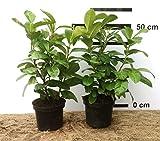 Kirschlorbeer-Hecke, Prunus l. Novita, im Topf-gewachsen (40/50 cm hoch)