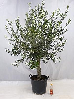 """Olivenbaum """"Olea europea"""" 210 cm, kräftiger Busch mit dickem Stamm von PalmenLager.de - Du und dein Garten"""