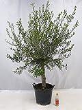 "Olivenbaum ""Olea europea"" - 160/190 cm - dicker Stamm 25 cm Umfang - Pot 30 ltr."
