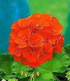 UPSTONE Garten - Südafrika Geranie Samen PelargoniumPelargonieals Rabatte-, Beet-, Topf-, Balkon- oder Kübelpflanze mehrjährig winterhart (50, Orange)