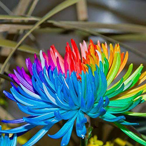 Beautytalk-Garten seltene Regenbogen Chrysantheme Blumensamen Pflanze Baum Haus Garten Balkon Dekoration Bonsai mehrjährig Blumenzwiebeln -