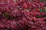 Portal Cool Acer palmatum Dissectum Atropurpureum Red Laceleaf Japanischer Ahorn-Samen!