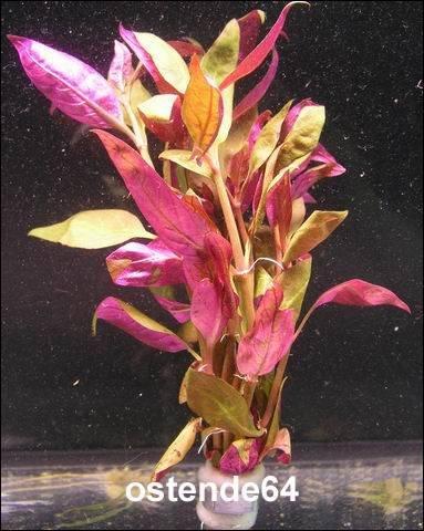 WFW wasserflora Burgunder-Rotes Papageienblatt/Alternanthera reineckii PURPLE