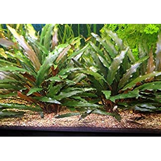 Cryptocoryne Beckettii - Live Aquarium Plants … 7