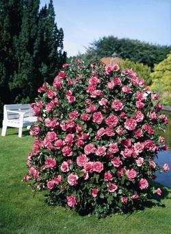Strauchrose 'Romanze' -R- A-Qualität Wurzelware von Rosen-Union bei Du und dein Garten