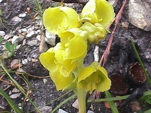 Pterygodium catholicum - orchidées - 10 graines