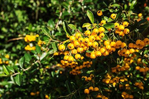 Mittelmeer Feuerdorn Pyracantha coccinea 200 Samen