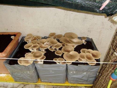 Galleria fotografica 6 kit coltivazione funghi pleurotus cardoncello substrato panetti funghi,casa giardino