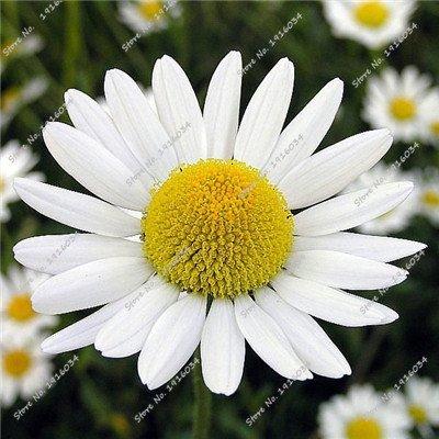 Rainfarn Blumen (Empfehlen Erbstück Rainfarn Samen Bonsai Samen von mehrjährigen Garten-Blumen, Pflanzen der Saison Blumensamen im Freien 30 PC 1)