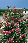 Kletterrose 'Laguna' -R-, ADR-Rose im...