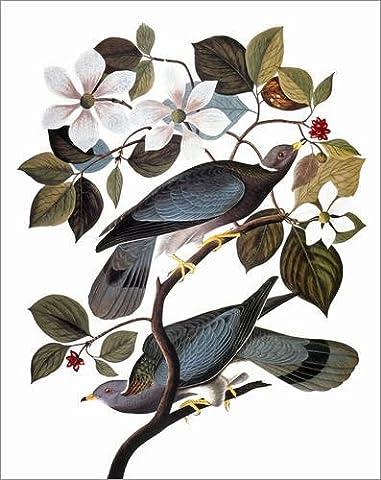 Holzbild 100 x 120 cm: Audubon: Pigeon. von John James Audubon / Granger Collection