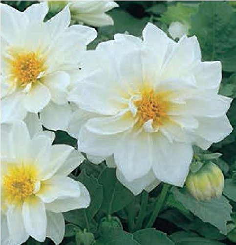 just-seed-flower-dahlia-figaro-white-20-seeds