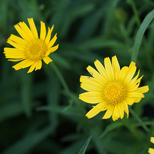 Blumixx Stauden Buphthalmum salicifolium - Ochsenauge, im 0,5 Liter Topf, goldgelb blühend