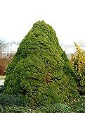 Zuckerhutfichte Picea glauca Conica, Containerware, 80-100 cm hoch, Weihnachtsbaum