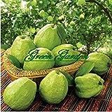 PlenTree 50pcs/lot Goyave Graines Delicious Tropical Fruits végétales Non Plantes transgéniques naissante taux du 90% Le Jardin Domestique Libre de Transport A13
