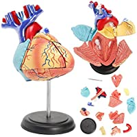 zhuyu 4D Disassembled Anatomical Human Heart Model Anatomy Medical Teaching Tool Puzzle