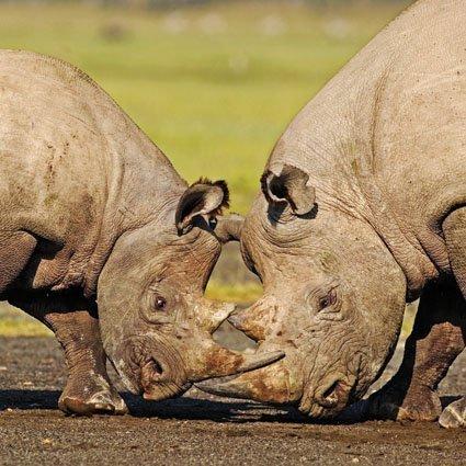 rhinoceros-noir-carte-de-vux-avec-sons