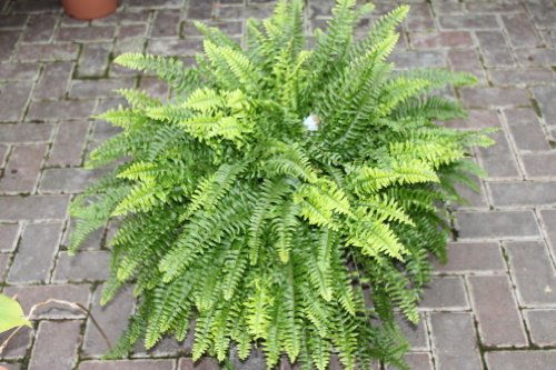 Zimmerpflanze - Nephrolepsis - Boston-Farn - Buschige Zimmerpflanze, ca. 45cm hoch