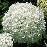 "Hydrangea arborescens ""Annabelle"" (Ortensia) [Vaso Ø17cm]"