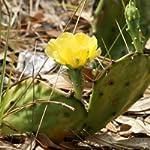 Opuntia Humilis Seeds