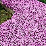 GEOPONICS Rosa Timo: Semi timo o semi ROCK crescione - Semi di copertura del suolo giardino decorazione 40pcs T11