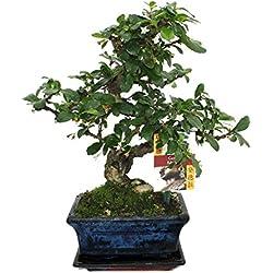 Bonsai Fukientee - Carmona microphylla - ca. 6 Jahre
